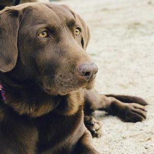 Labradors et obésité - Causes et traitements