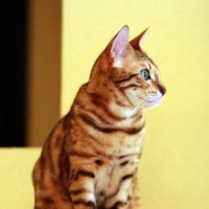Le chat du Bengale est-il un chat sauvage?