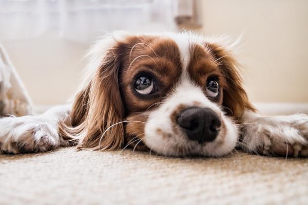 Le chien peut-il être seul à la maison 8 heures?