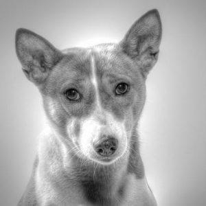 Le diabète chez les chiens - Symptômes et contrôle