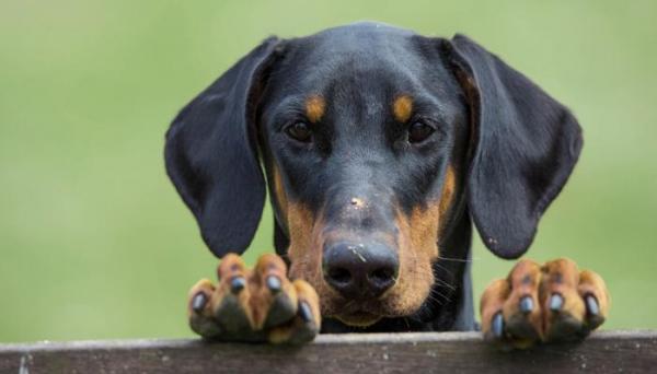 Le doberman est-il un chien dangereux?