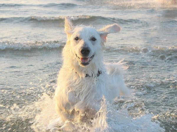 L'eau de mer est-elle bonne pour la peau des chiens?