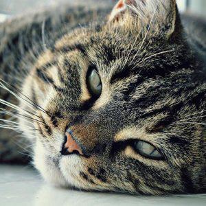 Leishmaniose chez les chats - Symptômes et traitement