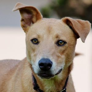 Leptospirose canine - Symptômes et contagion