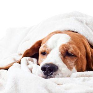 Leptospirose canine - symptômes et traitement