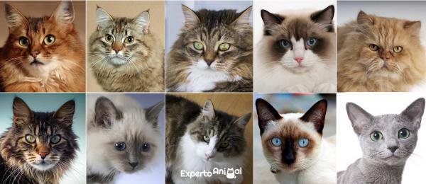 Les 10 races de chats les plus populaires au monde