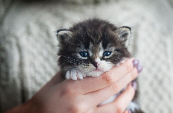 Les 5 plus petites races de chats au monde