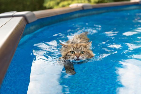 Les 5 races de chats qui aiment le plus l'eau