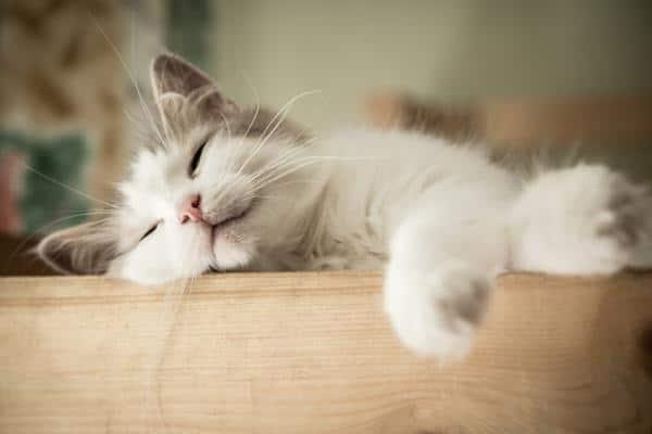 Les chats rêvent-ils? Ont-ils des cauchemars?