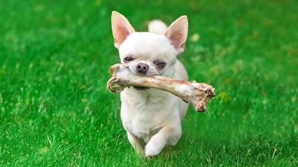 Les chiens peuvent-ils manger des os crus?