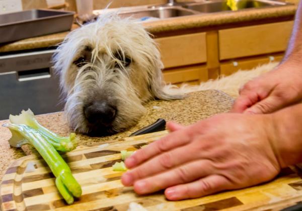 Les chiens peuvent-ils manger du CÉLERI?