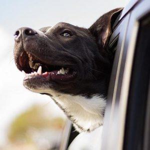 Les chiens sentent-ils la peur des gens?