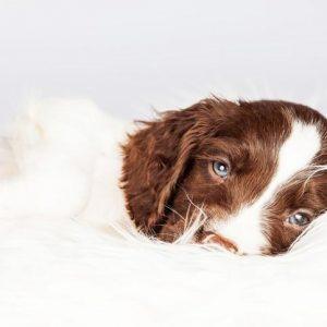 Les phéromones pour chiens souffrant d'anxiété, sont-elles efficaces?