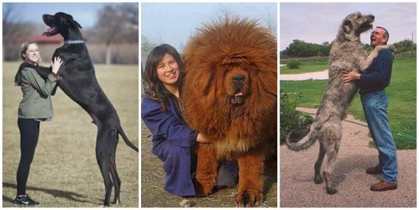 Les plus grands chiens du monde