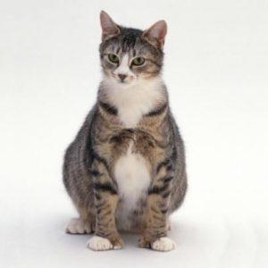 Les symptômes d'une chatte enceinte