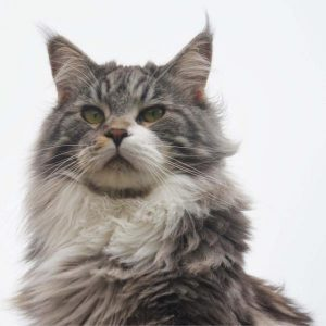 Maine coon care