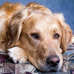 Maladies des chiens Golden retriever