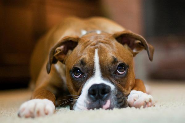 Maladies les plus courantes chez les chiens boxeurs