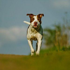 Maladies les plus courantes des chiens pit bull terrier