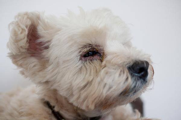Maladies oculaires chez les chiens