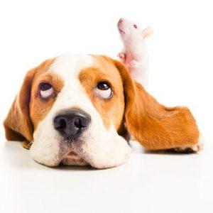 Mon chien a tué un rat, est-ce normal?