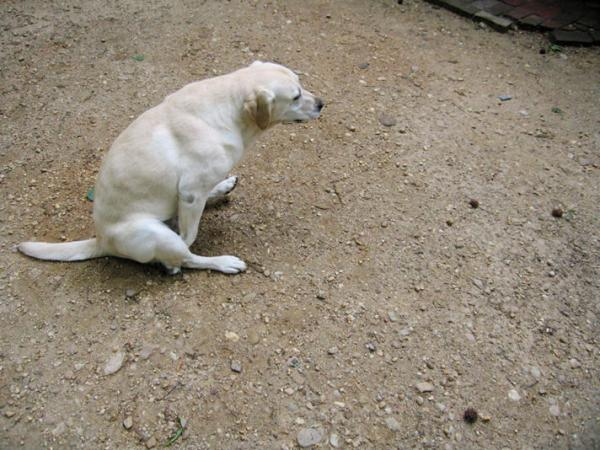 Mon chien traîne l'anus sur le sol