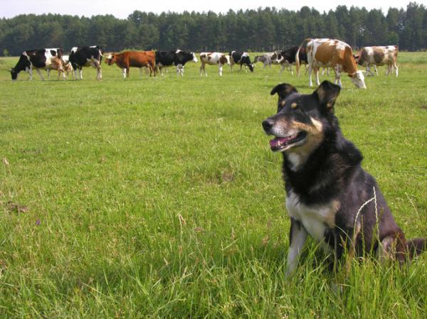 Néosporose canine (Neospora caninum) - Symptômes et traitement