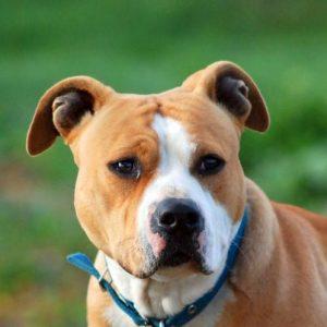 Noms de chien American Staffordshire Terrier