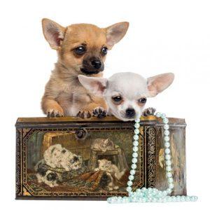 Noms de chiens Chihuahua