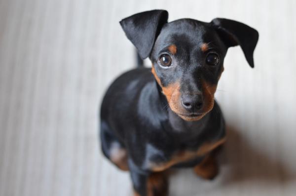 Noms de chiens pinscher mâles et femelles
