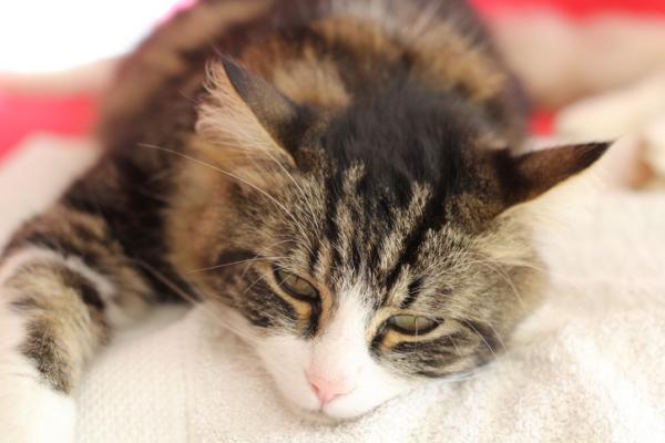 Pancréatite chez les chats - Symptômes et traitement