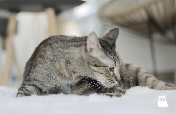 Phéromones pour chats - Quels sont-ils et comment les utiliser