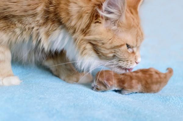 Pourquoi les chats déplacent-ils leurs chatons?