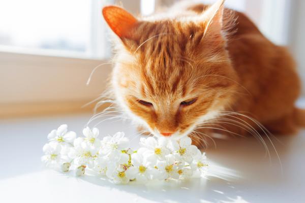 Pourquoi les chats ouvrent-ils la bouche lorsqu'ils sentent quelque chose?