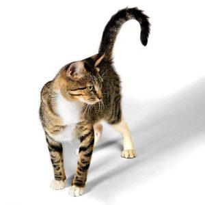 Pourquoi les chats remuent-ils la queue?