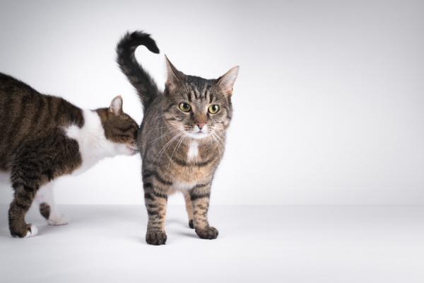 Pourquoi les chats sentent-ils leur anus?