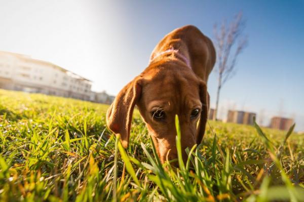 Pourquoi les chiens mangent-ils des excréments?