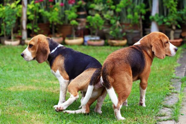 Pourquoi les chiens sont-ils coincés lorsqu'ils s'accouplent?