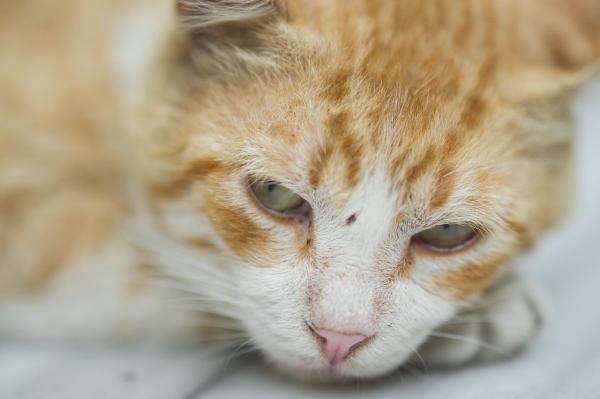Pourquoi mon chat vomit-il du sang?