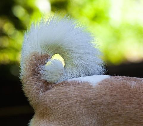 Pourquoi mon chien n'aime-t-il pas se faire toucher la queue?