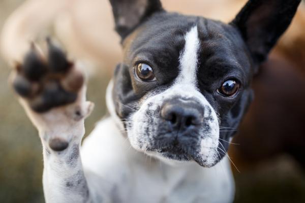 Pourquoi mon chien n'aime-t-il pas toucher ses pattes?