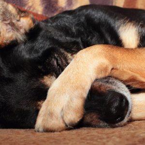 Pourquoi mon chien se gratte-t-il beaucoup le museau?