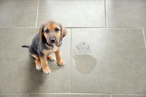 Pourquoi mon chien urine-t-il là où il mange?