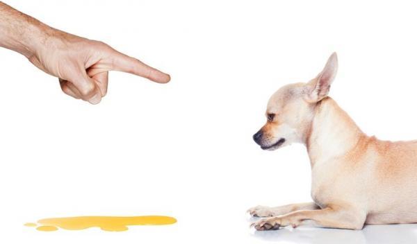 Pourquoi mon chien urine-t-il quand je le gronde?