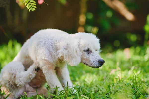 Poux chez le chien - Symptômes et traitement