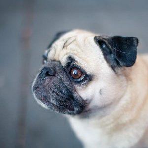 Prendre soin du chien carlin ou carlin