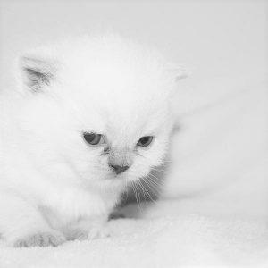 Prendre soin d'un chat albinos