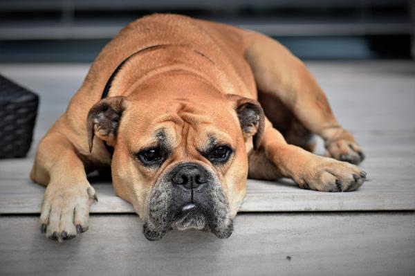 Prendre soin d'un chien sans rate