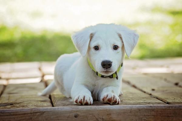 Puis-je emmener mon chiot à l'extérieur sans vaccins?