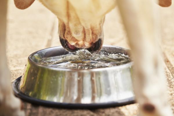 Quelle quantité d'eau un chien doit-il boire par jour?